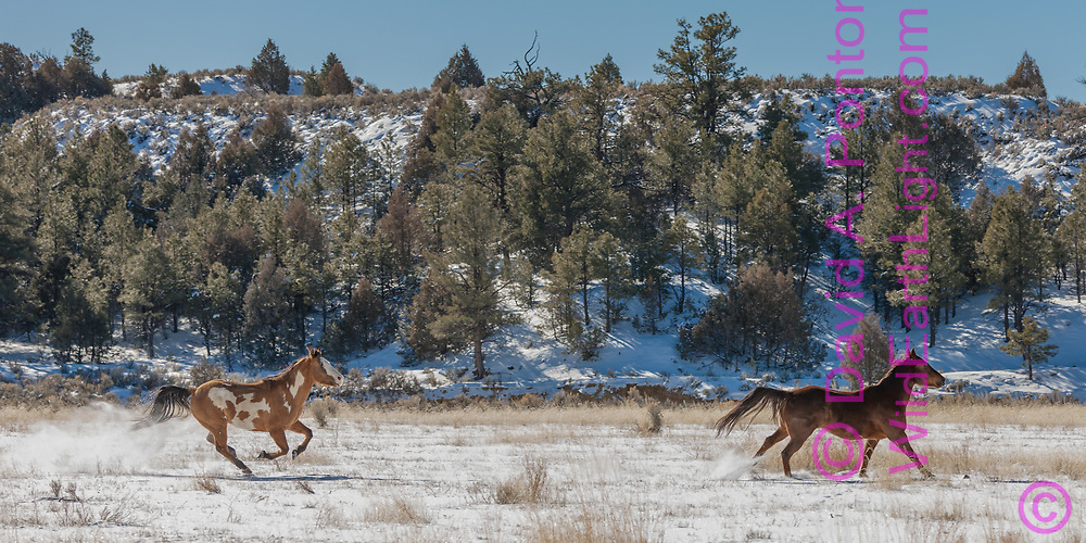 Two horses running in field with new snow bordered by hills in rural New Mexico landscape, © 2009 David A. Ponton [Prints to 12x24 or 16x32 in. with no cropping]