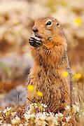 CANADA, Nunavut.Arctic ground squirrel, or sik-sik (Spermophilus parryii)