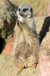 A Slender-tailed Meerkat enjoys the sunshine in the Hannover zoo, Germany, on March 6, 2013, March 6, 2013. Photo by Imago / i-Images...UK ONLY..Contact..Andrew Parsons: 00447545 311662.Stephen Lock: 00447860204379