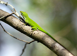 01 June 2015. Jean Lafitte National Historic Park, Louisiana.<br /> A green Anole lizard in the swamp at the Barataria Preserve wetlands south or New Orleans. The lizard turns brown camouflaging itself when danger threatens. <br /> Photo©; Charlie Varley/varleypix.com