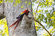 Scarlet Macaw <br /> Ara macao<br /> Pair on nest<br /> Osa Peninsula, Costa Rica