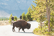 Photographers taking pictures of a Bison crossing the road in Yellowstone National Park, Wyoming.