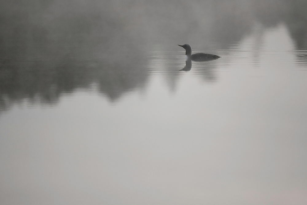 Red-throated diver (Gavia stellata) at dawn on mist-laden lake, Bergslagen, Sweden.