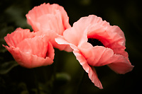 A trio of pink poppies.