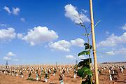 Israel, Negev, Lachish Region, young grape vines in a Vineyard,