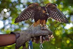 Falcão de coleira usado desde 2009 pela empresa de falcoaria Hayabusa para afastar e capturar aves capazes de se chocar contra os voos do Aeroporto Internacional Salgado Filho, em Porto Alegre. FOTO: Jefferson Bernardes/Preview.com