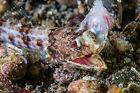A Lizardfish munches on its prey (reef fish)<br /> <br /> Shot in Indonesia
