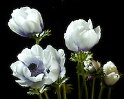 Photograph of white anemone blossoms on a black background