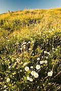 Oxeye Daisy (Leucanthemum vulgare or Chrysanthemum leucanthemum), Birdsfoot Trefoil (Lotus corniculatus) and Other Wildflowers and Grasses, Mt. St. Helens National Volcanic Monument, Washington, US, August 2005