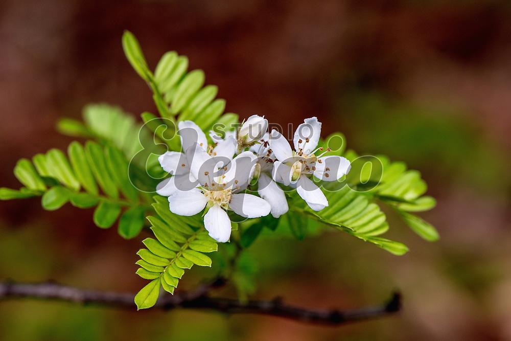 Flowers of Hawaiian hawthorn, or ulei in Hawaiian (Osteomeles anthyllidifolia).