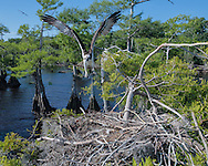 Osprey flying to nest in cypress tree, © 2007 David A. Ponton