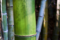Japon, île de Honshu, région de Kansaï, Uji, bambou // Japan, Honshu island, Kansai region, Uji, bamboo tree