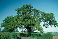 Pedunculate or English Oak Quercus robur Fagaceae Height to 36m. Spreading, deciduous tree with dense crown. Bark Grey, thick and fissured with age. Branches Dead branches emerge from canopy of ancient trees. Buds hairless. Leaves Deeply lobed with 2 auricles at base; on very short stalks (5mm or less). Reproductive parts Flowers are catkins. Acorns, in groups of 1–3, with long stalks and scaly cups. Status Widespread; prefers heavier clay soils to Sessile Oak.