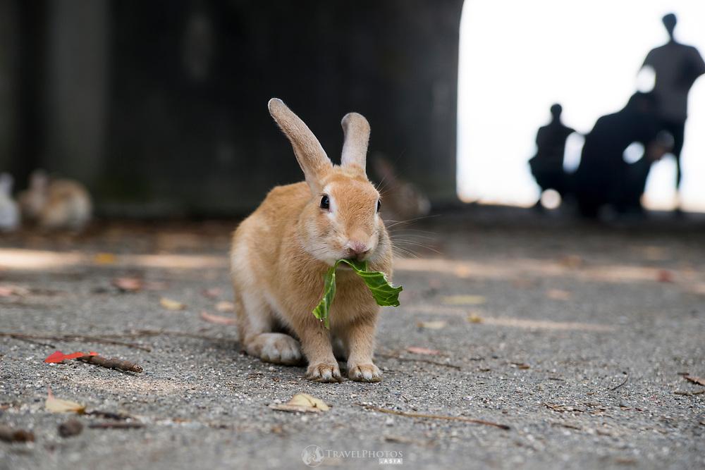 Rabbits on Okunoshima, aka Rabbit Island, in Hiroshima Prefecture Japan.