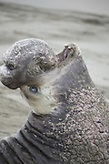 Northern Elephant Seal<br /> Mirounga angustirostris<br /> Alpha bull trumpeting<br /> Piedras Blancas, California