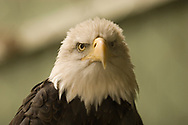 American bald eagle staring at you.