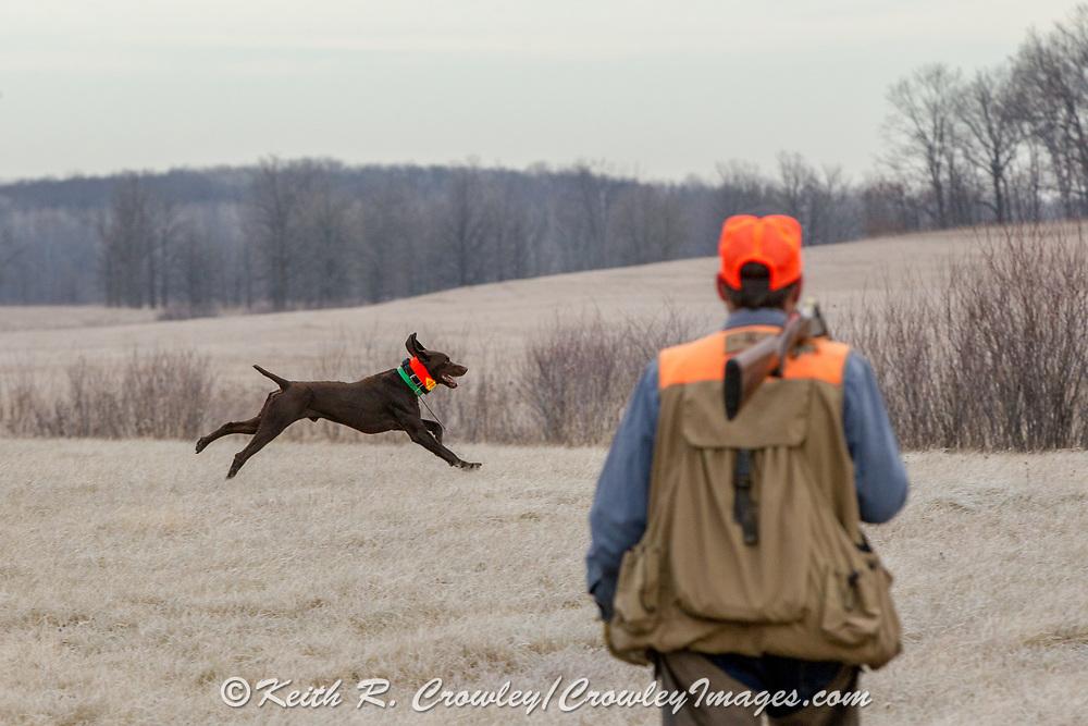 John Zeman and his German Shorthair, Frank, hunt pheasants on a Minnesota public hunting area.