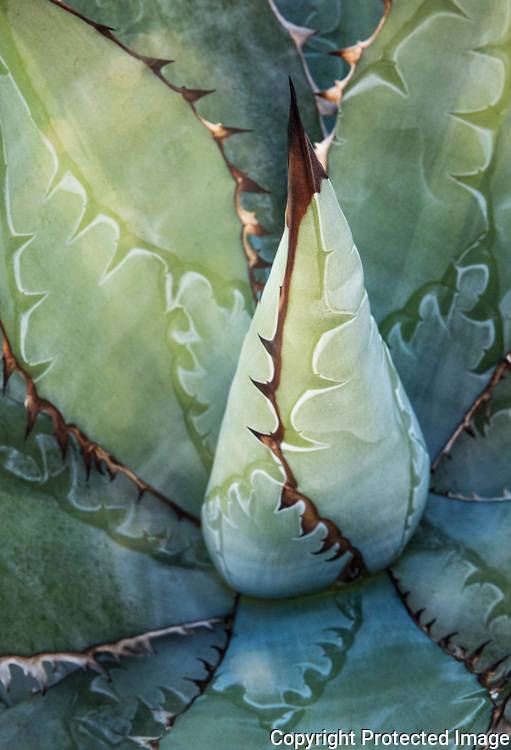 Agave grown by Kelly Griffin.