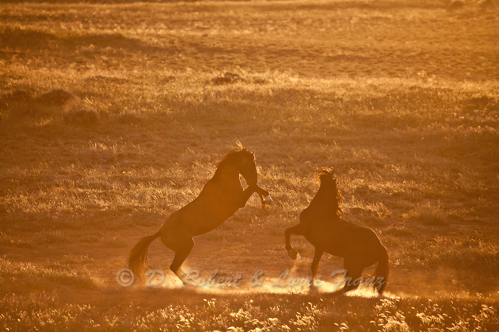 Wild mustang stallions fighting at sunset in Wyoming