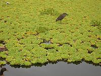 Hawaii Ibis