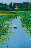 Paddling through floating gardens (rad) with lotus flowers, Dal Lake, Srinagar, Kashmir, Jammu and Kashmir State, India.