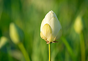 Lotus bud glowing in morning light, I love the way the beautiful light is highlighting the background plants