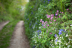 Red Campion, Greater Stitchwort and Bluebells growing in a hedgerow by a Devon lane. Silene dioica, Stellaria holostea, Hyacinthoides non-scriptus