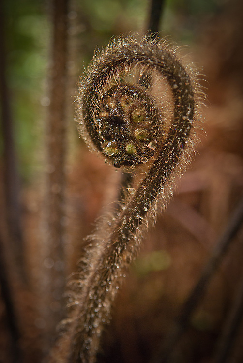 Water droplets cling to coarse hairs of a new wheki (tree fern) frond known as Koru, the Maori symbol for new life; Milford Track, New Zealand
