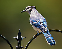 Blue Jay. Image taken with a Nikon D5 camera and 600 mm f/4 VR lens (ISO 560, 600 mm, f/5.6, 1/1250 sec)