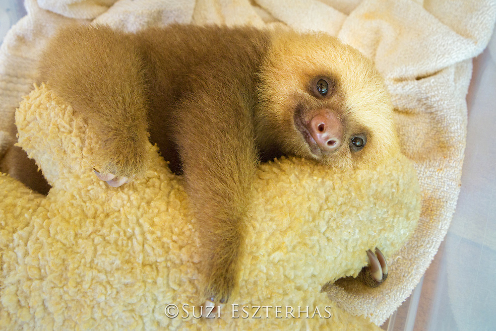 Hoffmann's Two-toed Sloth <br /> Choloepus hoffmanni<br /> Orphaned baby clings to its surrogate mother (a stuffed animal)<br /> Aviarios Sloth Sanctuary, Costa Rica<br /> *Rescued and in rehabilitation program