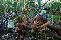 Keepers at IAR spend time with a group of juvenile orangutans in a patch of forest where they are learning skills for the wild <br /><br />International Animal Rescue (IAR)<br />Ketapang <br />West Kalimantan Province<br />Island of Borneo<br />Indonesia