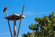 Osprey, Pandion haliaetus, guarding birds nest on Captiva Island in Florida, USA