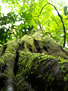 Detail of a mossy tree in the  Amazon, near Yasuni National Park, Ecuador.