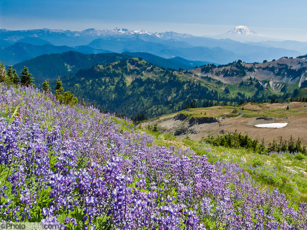 Lupine flowers thrive at Panhandle Gap, the highest pass on the Wonderland Trail in Mount Rainier National Park, Washington, USA. On the horizon, see the snow capped volcano of Mount Adams (right), and Gilbert Peak (center) in Goat Rocks Wilderness (which contains a series of peaks eroded from an extinct volcano). Lupinus is a genus in the pea family (also called the legume, bean, or pulse family, Latin name Fabaceae or Leguminosae).