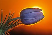 Prairie crocus (Anemone patens) at sunrise. Little Mountain Park.<br />Winnipeg<br />Manitoba<br />Canada<br />Winnipeg<br />Manitoba<br />Canada