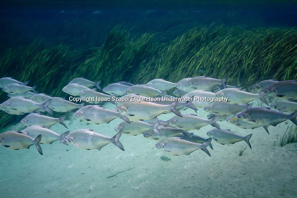Gizzard Shad<br /> <br /> Isaac Szabo/Engbretson Underwater Photography