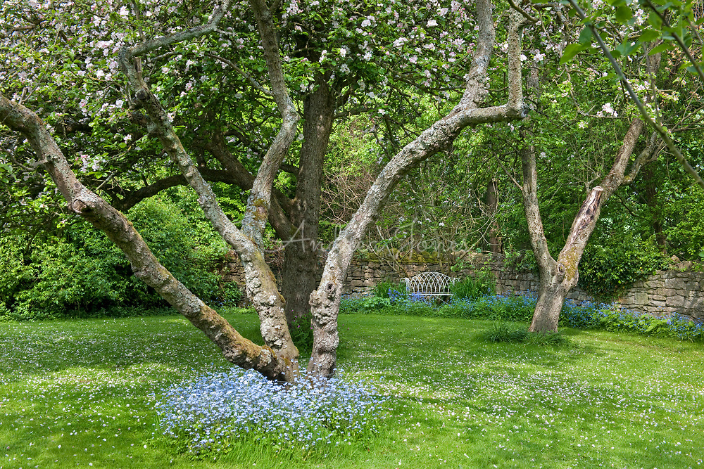 Forget-me-Nots in flower below old apple tree orchard in blossom. The garden at Shandy Hall, Yorkshire