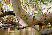Water Cherry Tree above Mary Creek, Daintree Rainforest, Queensland, Australia