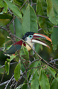 Curlcrested Aracari sits high in the canapy in the Amazon at Crystalina  River conservation area, Brazil. Summer