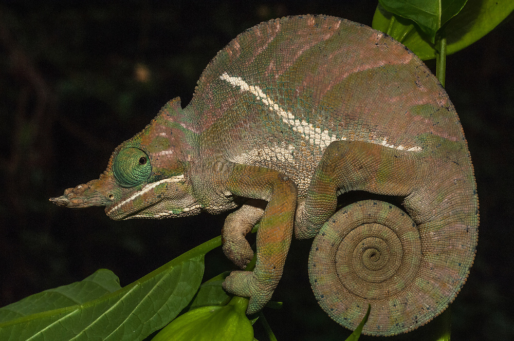 Baudrier's chameleon (Furcifer balteatus) FEMALE. Occurs in the eastern rain forest from Ranomafana National Park to Andohahela National Park. MADAGASCAR.<br /> This species is large with a length of 35cm and has divergent nasal appendages and a bold diagonal stripe present on each flank extending from behind the occiput to the inguinal region. Males are duller than females with white and green alternated stripes. <br /> There are more than 150 species world wide and over half of those are only found in Madagascar. All species on the island are Native.<br /> Chameleons are well-known for their special adaptions: The ability to change color rapidly to either match their surroundings or to reflect their mood. They have the capacity to move their turreted eyes independently of each other which allows them to look in different directions simultaneously. They have independent 360 degree vision except when hunting they use binocular vison to estimate the distance of the prey. They capture their prey with the rapid firing of their tongue which can extend to approximately half of their body length and is ended with a kind of gluing hammer. All species found in Madagascar lay eggs (Oviparous) and do not give parental care. The calumma and furcifer group are known as true chameleons as they have a prehensile tail.  The Calumma group is highly arboreal, thus the prehenile tail as well as having opposable, fused fingers to grip onto branches. They tend to be solitary except during the breeding season. <br /> Furcifer balteatus is CITES 11 classification and needs an export permit to be exported from Madagascar.<br /> ENDEMIC TO MADAGASCAR