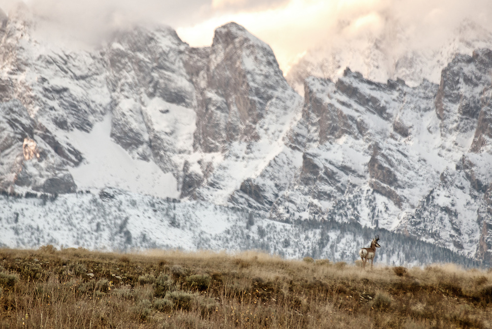 A pronghorn antelope stands beneath the Teton Range, Wyoming