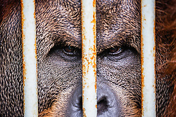 A critically endangered dominant male Sumatran orangutan (Pongo abelii)  that was rescued from illegal pet traders looks out from his cage where he needs to live because he has been in captivity his entire life, Medan, Sumatra, Indonesia