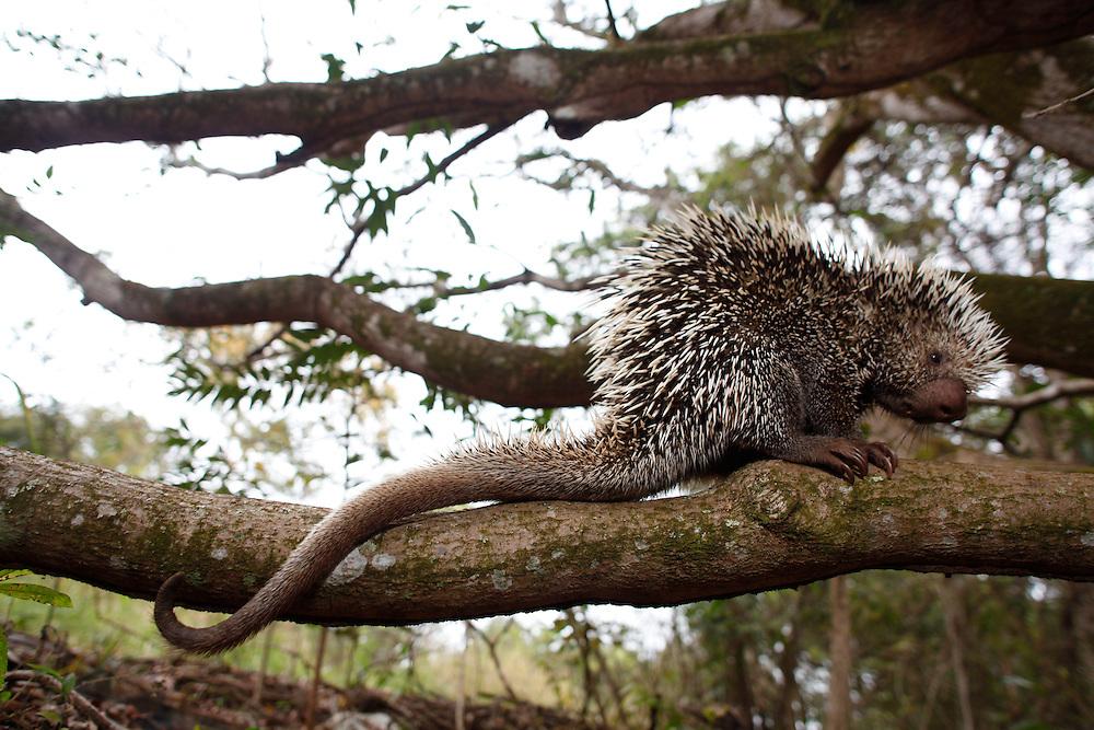 Conceicao de Alagoas_MG, Brasil.<br /> <br /> Estacao Ambiental de Volta Grande. Na foto ourico-cacheiro (Coendou prehensilis).<br /> <br /> Volta Grande Environmental Station. In this photo Arboreal Brazilian porcupines (Coendou prehensilis)<br /> <br /> Foto: JOAO MARCOS ROSA / NITRO<br /> <br /> <br /> <br /> <br /> <br /> <br /> <br /> <br /> <br /> <br /> <br /> Foto: JOAO MARCOS ROSA / NITRO
