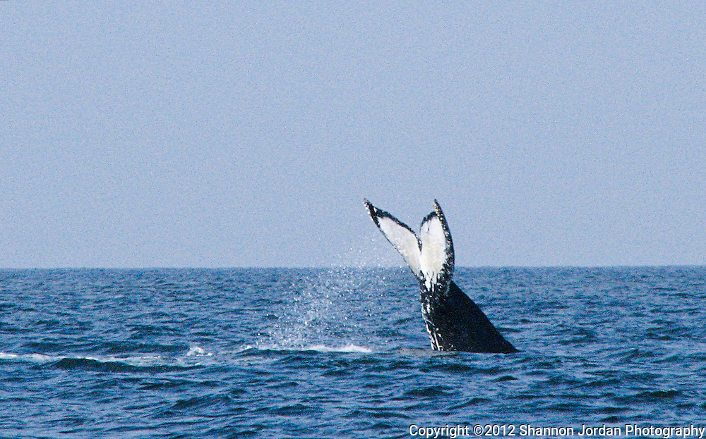 A humpback whale dives below the water at the Channel Islands off the coast of Santa Barbara, California.