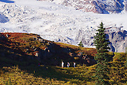 Hikers on the Skyline Trail under Mount Rainier, Mount Rainier National Park, Washington