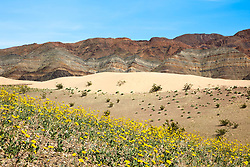 """Death Valley Wildflowers 4"" - Photograph of yellow wildflowers in Death Valley, near the Ibex Dunes area."