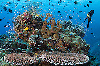 Healthy Hard Corals, with Damsels and adolescent Spadefish<br /> <br /> Shot in Indonesia