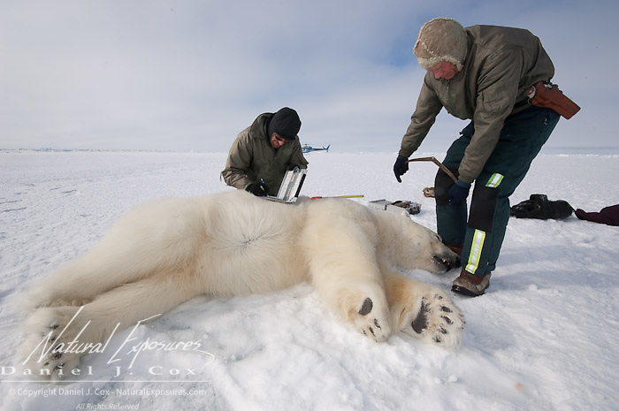 Steve Amstrup and Geoff York, USGS biologists, taking field data from an immobilized large male polar bear (Ursus maritimus). Kaktovik, Alaska.