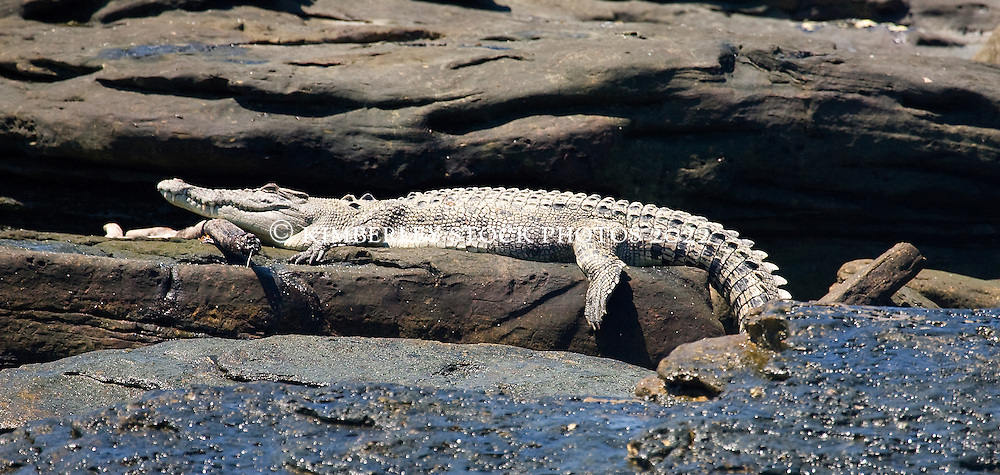 A saltwater crocodile basks on rocks in Camden Sound after feasting on a dead whale.