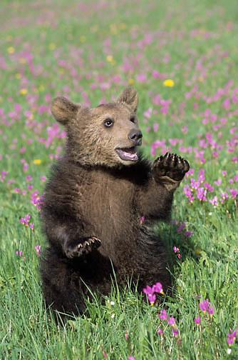 Alaskan Brown Bear (Ursus middendoffi) young spring cub in flowers. Captive Animal.